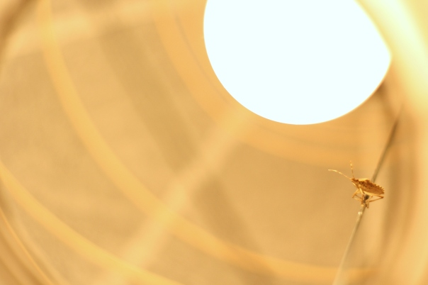 bug in paper lantern
