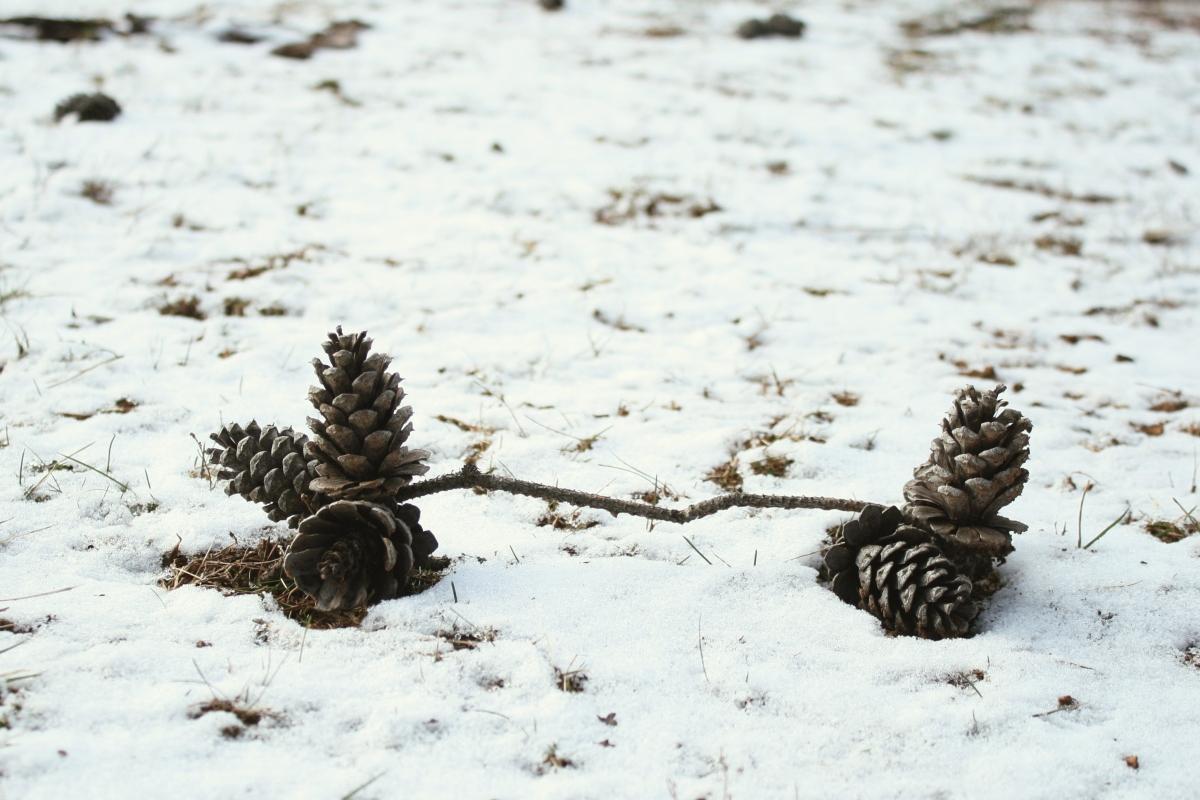 snow pine cones