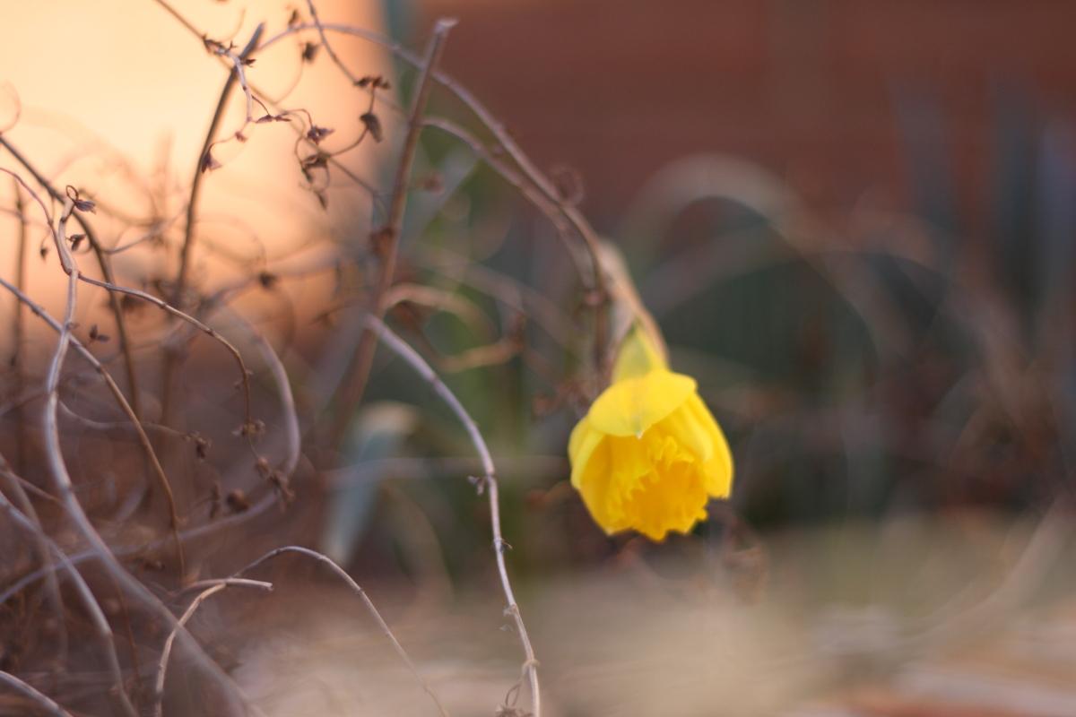 leahwise - daffodil