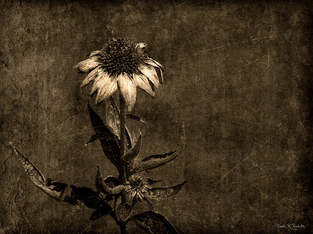 Dry-and-Dying-Flower