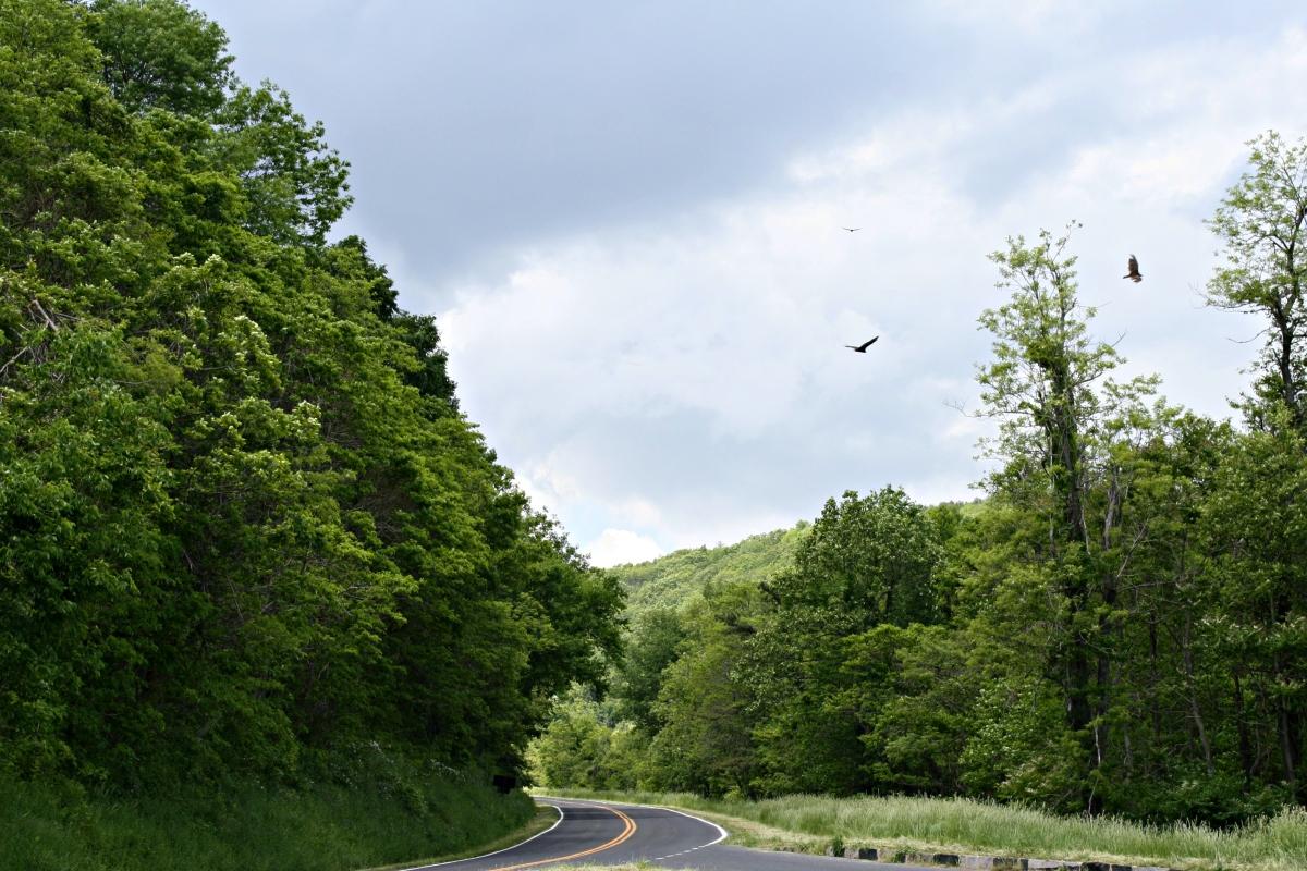 buzzards in Virginia