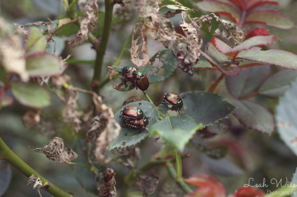 beetle mating season, uva, leahwise.com