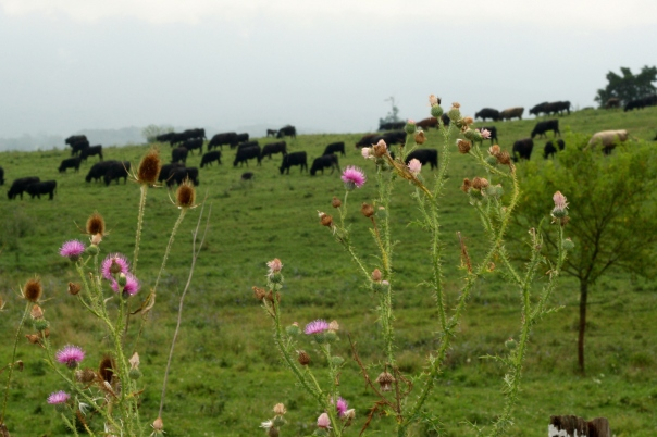 cows and flowers