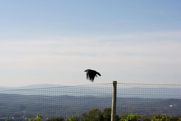 crow virginia