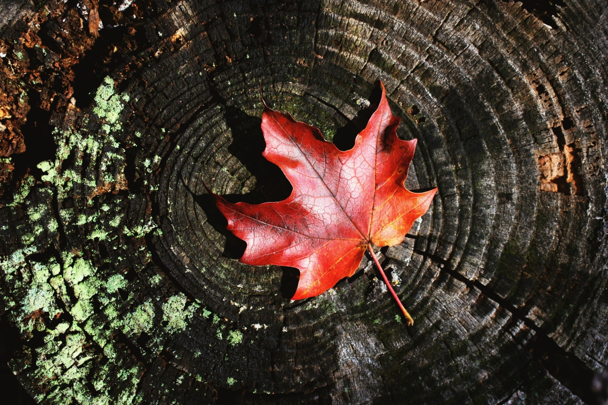 red leaf on tree stump