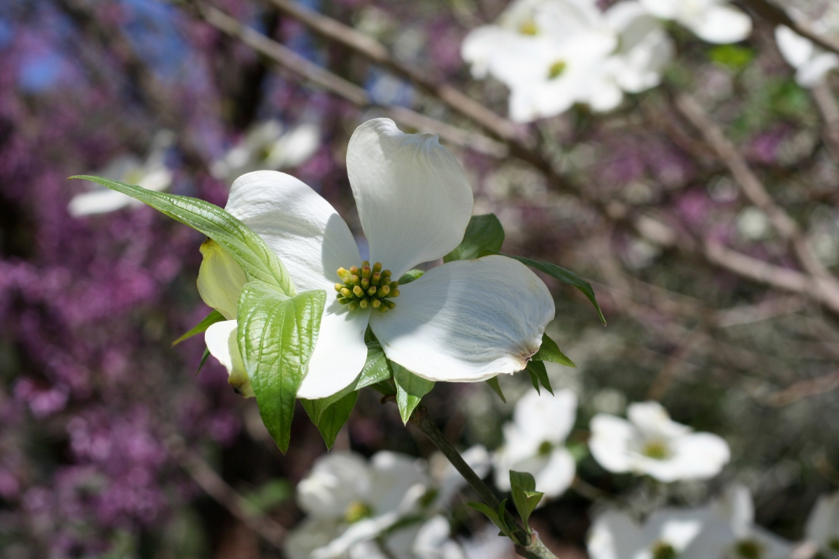 spring flowers dogwood